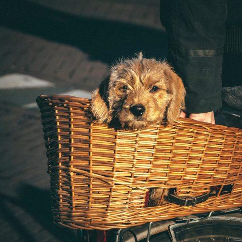 Cute dog in bike basket